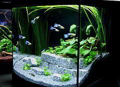 décoration aquarium guppy
