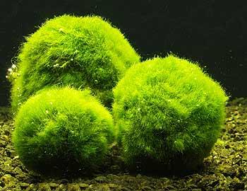 Les algues dans l 39 aquarium for Aquarium en boule