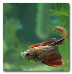 combattant reproduction poissons aquarium