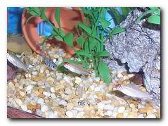 Faux nez rouge les poissons d 39 aquarium for Faux poisson rouge