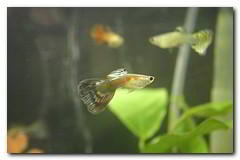 choix de l'aquarium : exemple du guppy