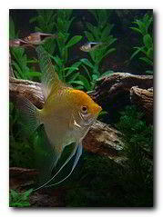 poisson scalaire angelfish